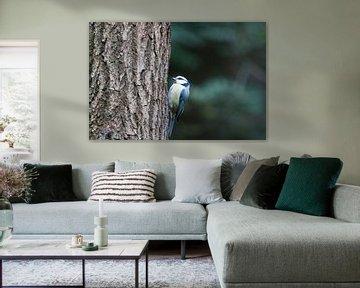 Mésange bleue - Parus caeruleus sur whmpictures .com