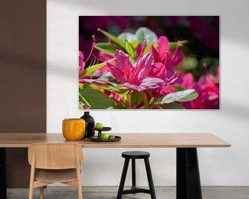 Roze azalea in de zon von Anita van Hengel