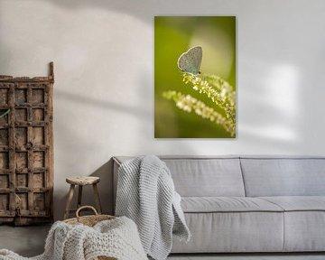 Boomblauwtje (Celastrina argiolus) von Margreet Frowijn