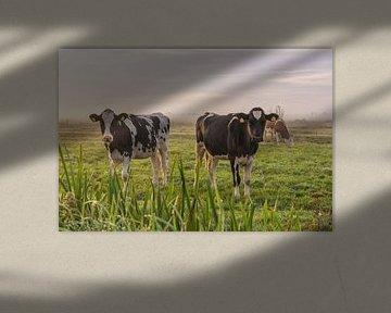 Jonge koeien in de ochtendmist von Yvonne van Driel