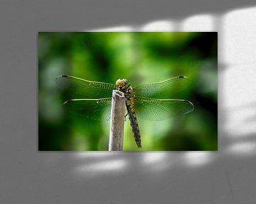 Libelle aan het zonnebaden van FotoGraaG Hanneke