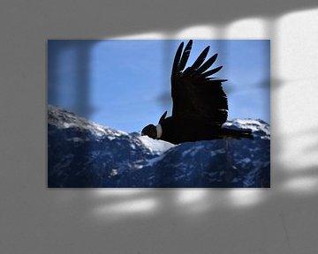 Condor in de Andes. van Zarina Buckert