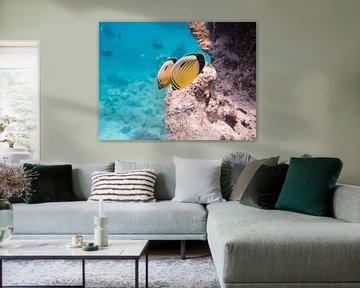 Blacktail butterflyfish sur Michael Rust