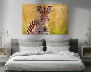 Junges Zebra, Zambia sur W. Woyke