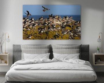 Een kolonie papegaaiduikers op de Farne Islands van Jacques van der Neut