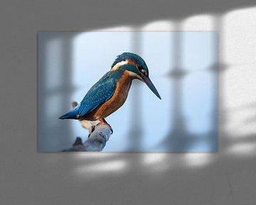 Kingfisher starring sur richard evers