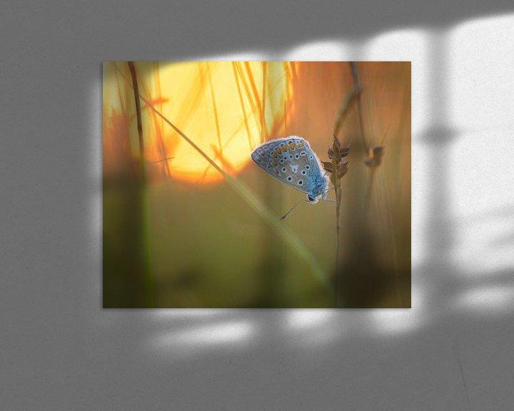 Sfeerimpressie: Icarusblauwtje in de ondergaande zon. van Jos Pannekoek