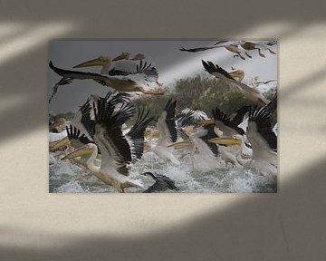 Witte pelikanen von Mr Greybeard