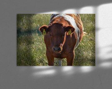 Jonge koe bruin wit gevlekt in weiland van The Dragonfly