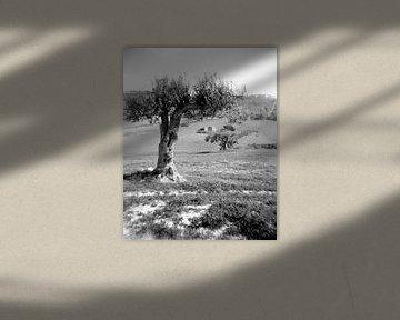 Olijfboom op Sicilie van Liesbeth Govers voor omdewest.com