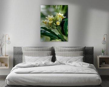 De Frangipani bloem van Petra Brouwer