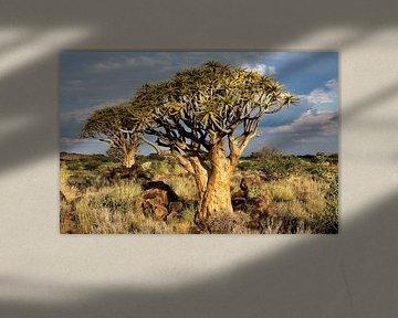 Kokerbomen in Namibië von Jan van Reij