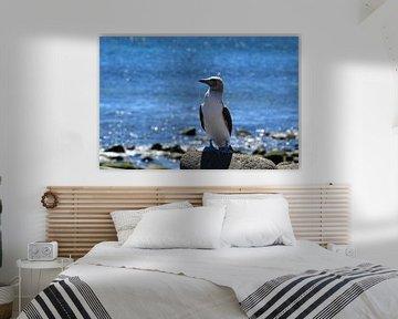 Blauwvoetgent, Galapagos van Tom Hengst