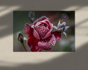 Roos van Johan Vet