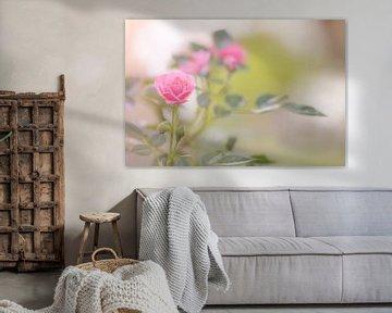 Gartenrose von Dagmar Marina