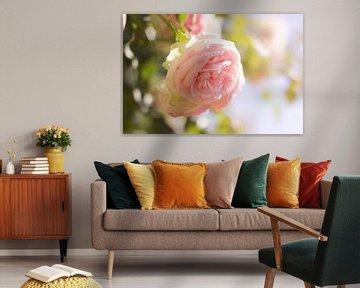 Sommerrose von Dagmar Marina