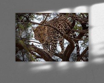 Jachtluipaard in een boom. sur Arthur van Iterson