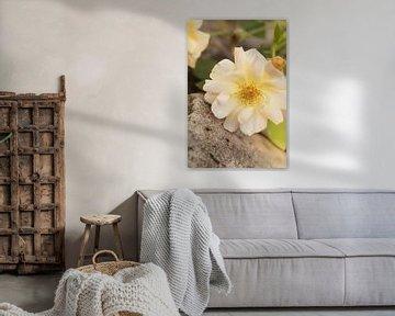 gelbe Rose von Dagmar Marina