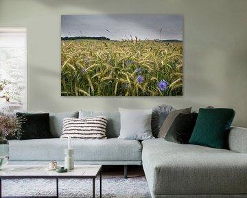 Korenbloem in graanveld von René Wolters