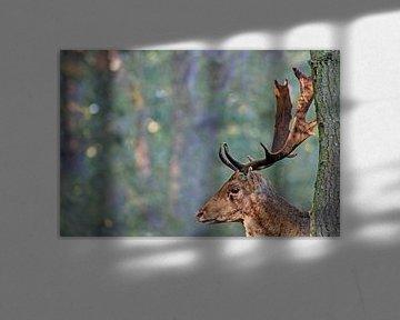 Damhert Fallow Deer von Yvonne Steenbergen