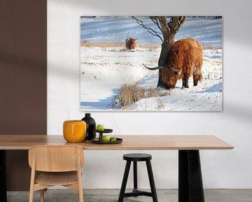 Schotse Hooglander in de winter van EnRICoPictures Fotografie Lub