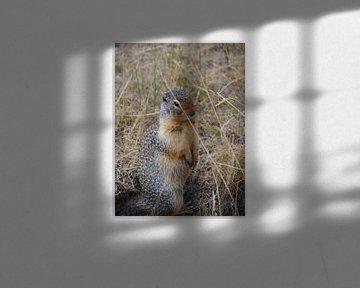 eekhoorn Canada von Jonathan De Bock