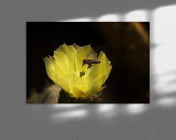 Kaktusblüte eines Scheibenkaktus auf Mallorca von Peter Buijsman