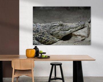 Krokodil von Sascha van Dam