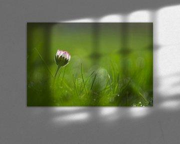 Gänseblümchen im Gras von Birgitte Bergman