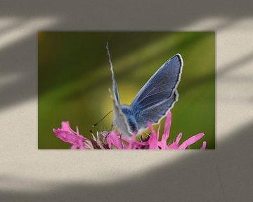 Vlinder icarusblauwtje van Sascha van Dam