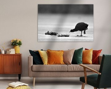 Meerkoet zwart wit op ijs van Sascha van Dam