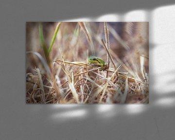 boomkikker in dor gras van Kristof Ven