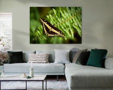 Schwalbenschwanz, Papilio Machaon von Sran Vld Fotografie