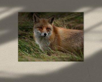 Le renard sur P van Beek