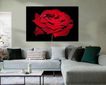 Beautiful red rose van Ioana Hraball