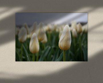 Witte tulpenzee met regendruppels van Monique Hassink