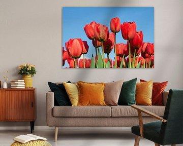 Zonnige rode tulpen von Monique Hassink