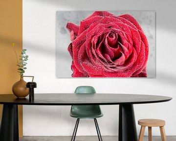 Frische Rose mit Wassertropfen bedeckt von Devin Meijer