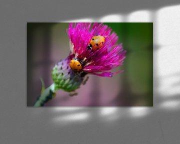 Lieveheersbeestjes op de akkerdistel van Masselink Portfolio