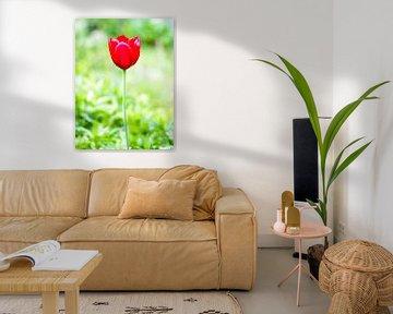 Rote Tulpe auf grünem Hintergrund von Devin Meijer