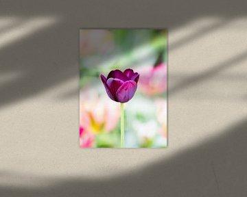 Purpurrote Tulpe auf grünem Hintergrund von Devin Meijer