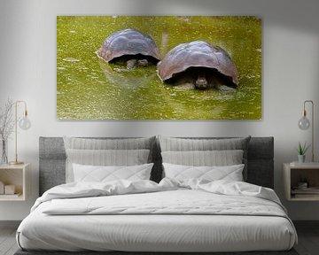 Galapagosreuzenschildpad von Maarten Verhees