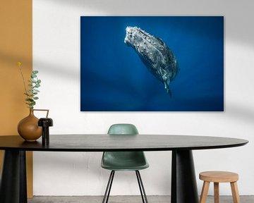 A humpback whale calf surfacing from the deep below van Koen Hoekemeijer