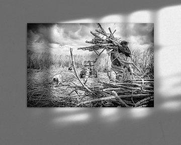 Suikerruit oogst van Eric Verdaasdonk