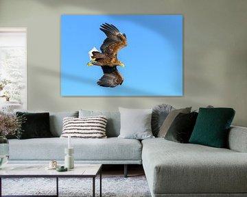 Zeearend  (Haliaeetus-albicilla) jaagt in de lucht van Sjoerd van der Wal