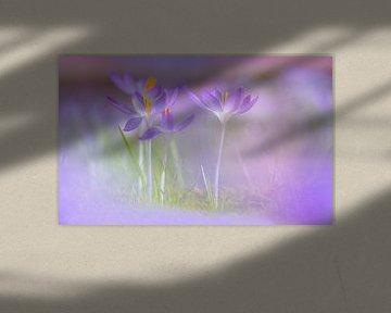 Boerenkrokus, Crocus tomassinianus van AGAMI Photo Agency