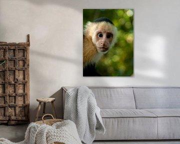 Witschouderkapucijnaap sur Maarten Verhees