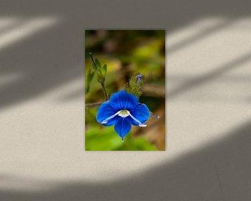 Kleine blauwe bloem von Pieter van Roijen