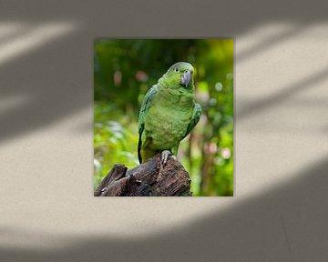 Guatemala-amazone von Maarten Verhees