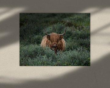 Schotse Hooglander van Patrick Verheij